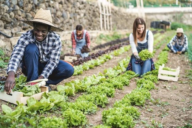 Osoby wielorasowe pracujące podczas zbierania sałaty - główny nacisk na twarz afrykańskiego mężczyzny