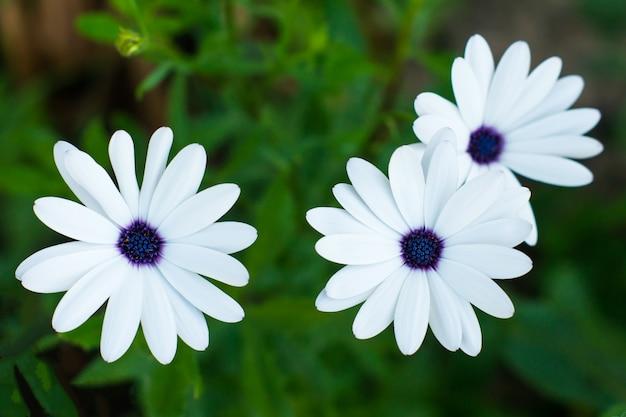 Osteospermum - białe kwiaty rumianku z fioletowym środkiem na zielonym tle ogrodu.