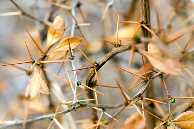 Ostre ciernie na gałęziach krzewu