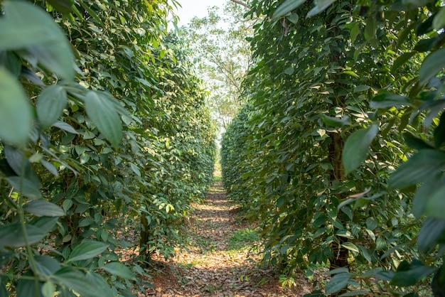 Ostre i gorące drzewo piper nigrum uprawiane jest w tajlandii