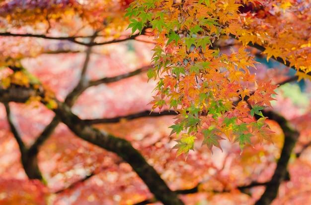 Ostrości i zamazanego kolorowego liścia klonowego drzewny tło w jesieni japonia.