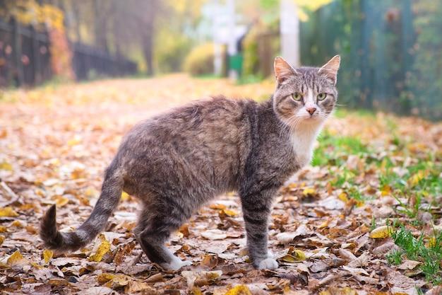 Ostrożny kot spacerujący na świeżym powietrzu na liściach w jesiennym parku. portret kota oglądając w aparacie.