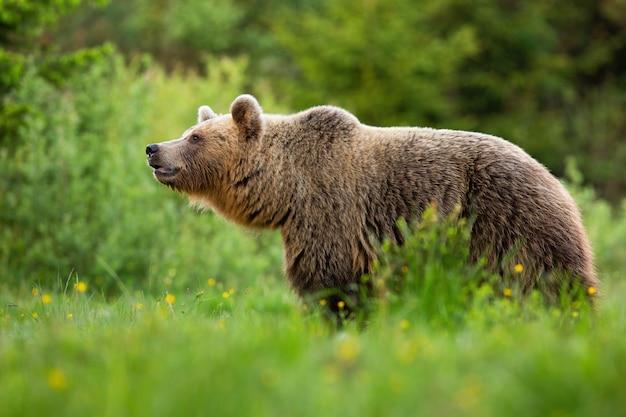 Ostrzegawczy niedźwiedź brunatny wąchający pysk w letniej naturze