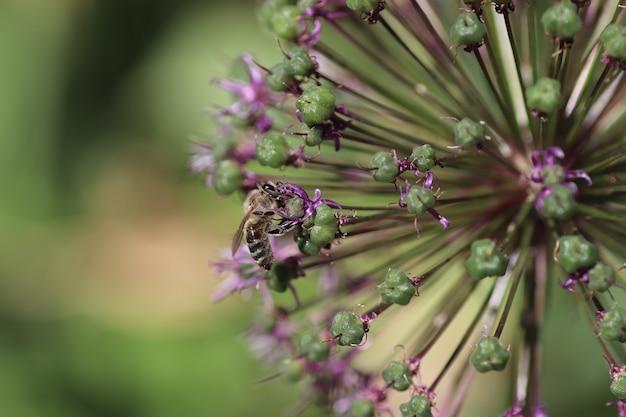 Osy latają latem nad dekaratycką kokardą z fioletowymi kwiatami