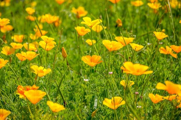 Oszałamiająco żółte kwiaty jaskier eschscholzia californica (mak kalifornijski, mak złoty, światło słoneczne kalifornii, kielich złota) gatunek rośliny kwitnącej z rodziny papaveraceae jest jasny