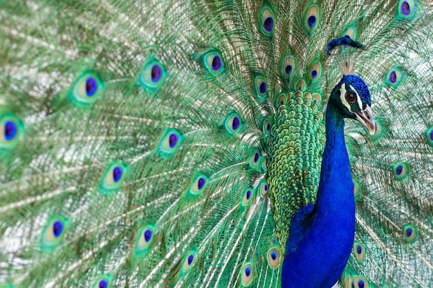 Oszałamiający indyjski męski paw z otwartymi skrzydłami pokazującymi wszystkie swoje niebieskie oczy na zielonym upierzeniu.