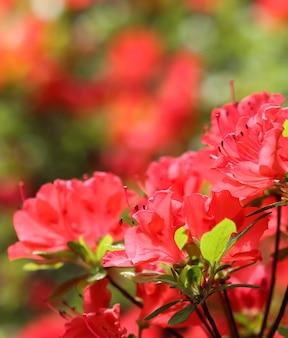 Otwarcie pięknego czerwonego kwiatu azalii w wiosennym ogrodzie kwiatowym tle