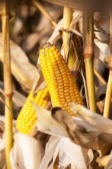 Otwarta kolba żółtego pola kukurydzy na polu, późna jesień, ale słoneczna pogoda