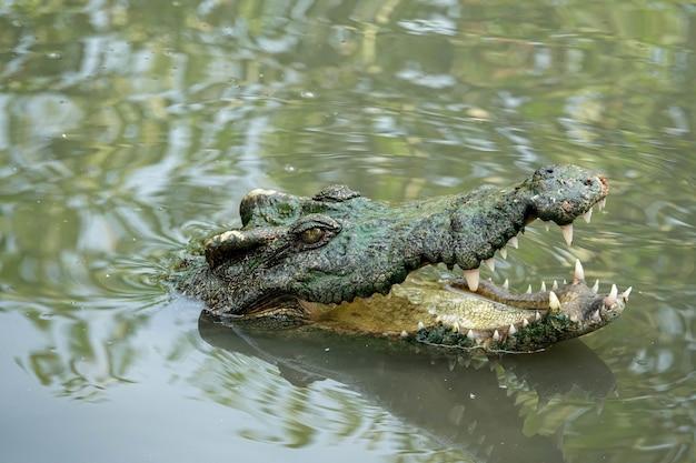 Otwarte usta krokodyla słonowodnego w delcie mekongu w wietnamie