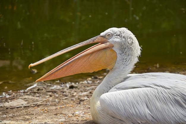 Otwarte usta pelikana