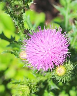 Otwórz kwiat ostu z bliska latem w lesie