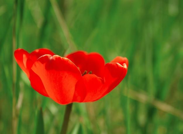 Otwórz pączek jednego czerwonego tulipana w zielonej trawie