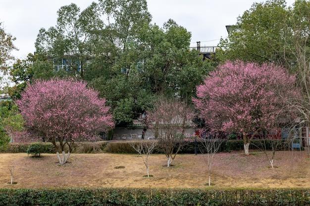 Otworzyły się kwiaty śliwy na poboczu drogi w parku, a całe drzewo było czerwone