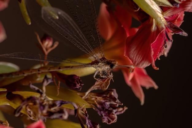 Owad antlion z rodziny myrmeleontidae w kwitnącej roślinie