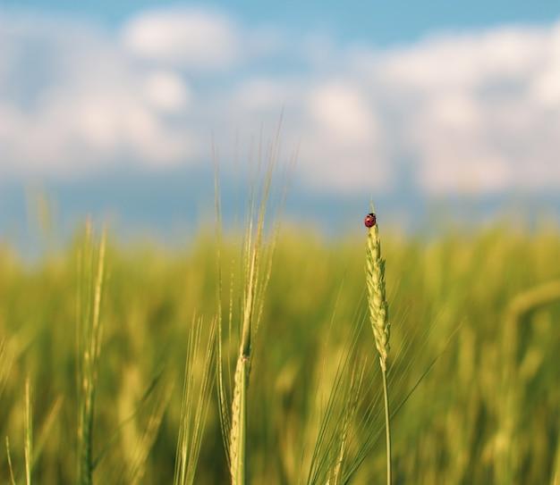 Owad biedronka na kłosie żyta lub pszenicy. uszy pszenicy lub żyta z bliska. cudowna wiejska sceneria. projekt etykiety. idea bogatych zbiorów. makro 4