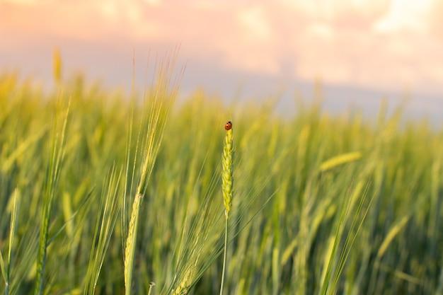 Owad biedronka na kłosie żyta lub pszenicy. uszy pszenicy lub żyta z bliska. cudowna wiejska sceneria. projekt etykiety. idea bogatych zbiorów. makro 5