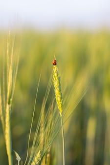 Owad biedronka na kłosie żyta lub pszenicy. uszy pszenicy lub żyta z bliska. cudowna wiejska sceneria. projekt etykiety. idea bogatych zbiorów. makro 6