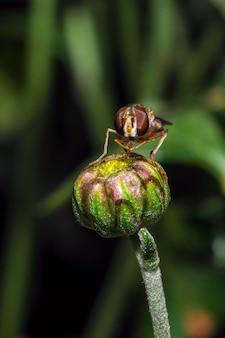 Owad mucha bzygowa na kwiat chryzantemy makro fotografia w ogrodzie słoneczny jesienny dzień