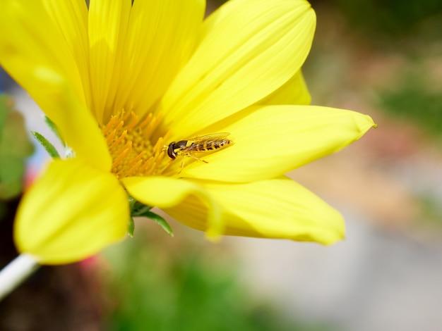 Owad pszczoła na żółtym kwiecie, dzikim życiu i koncepcji wiosny
