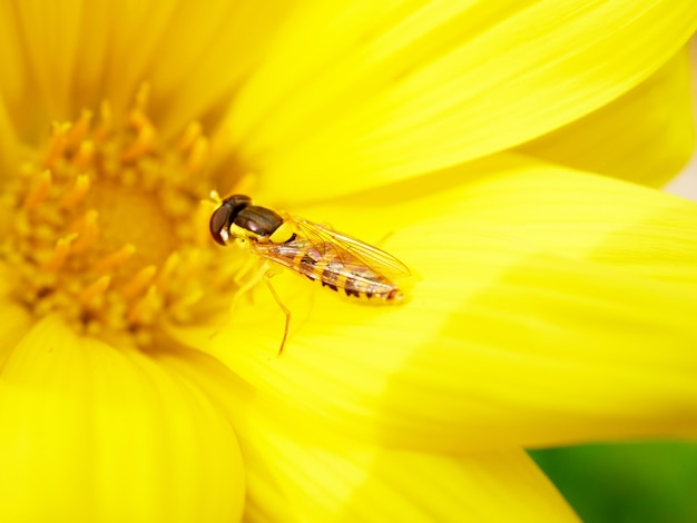 Owad pszczoła na żółtym kwiecie, zbliżenie, dzikie życie i koncepcja wiosny
