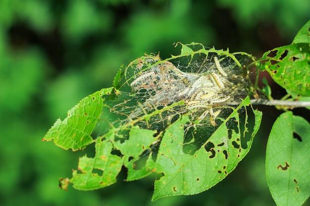 Owady szkodników wiśni. dużo gąsienic jedzących liście drzew
