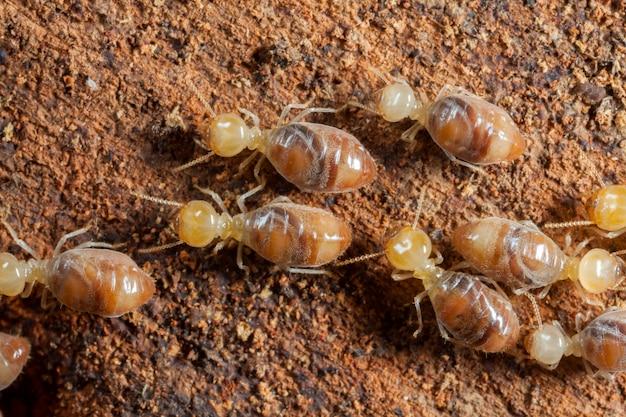 Owady termitów w kolonii nad drewnem