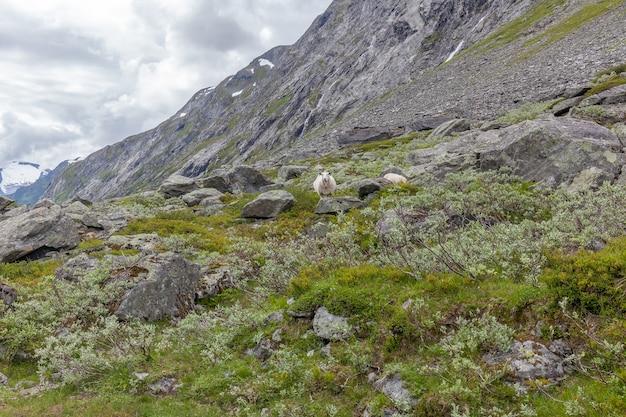 Owca biegająca po górach w norwegii.