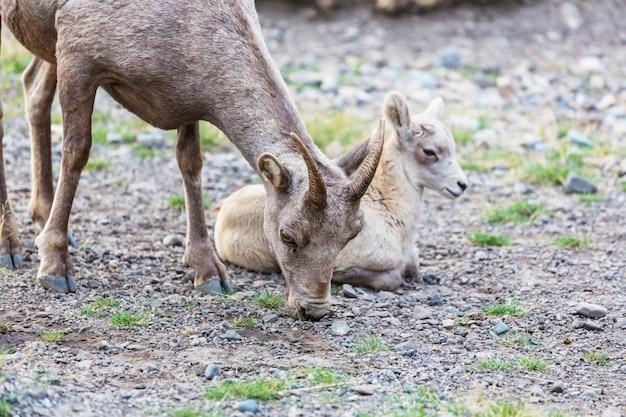 Owca rogata, jesienią w parku narodowym banff, góry skaliste, kanada