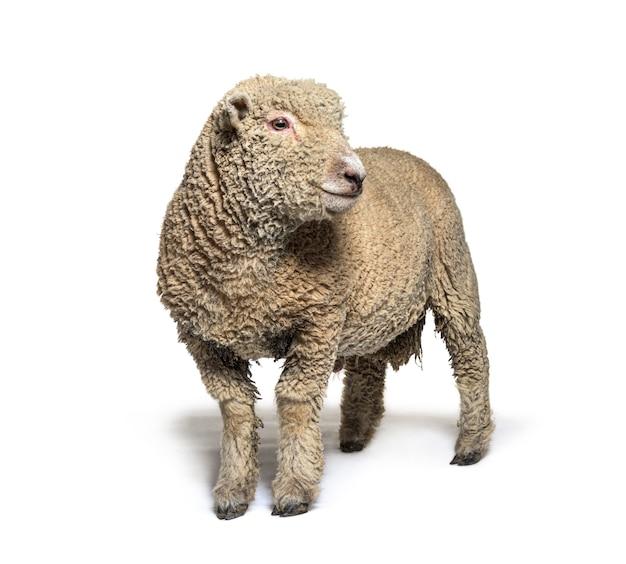Owca southdown, babydoll, uśmiechnięta owca, na białym tle
