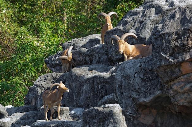 Owce górskie na skałach w naturalnej atmosferze.
