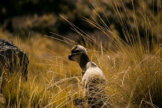 Owce górskie z cordillera real andes, boliwia
