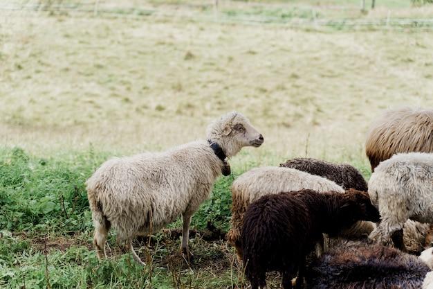 Owce i barany na zielonym polu w gospodarstwie