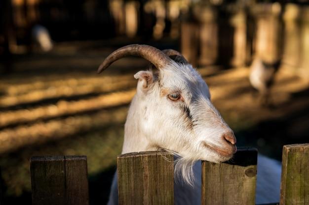 Owce i jagnięta na farmie