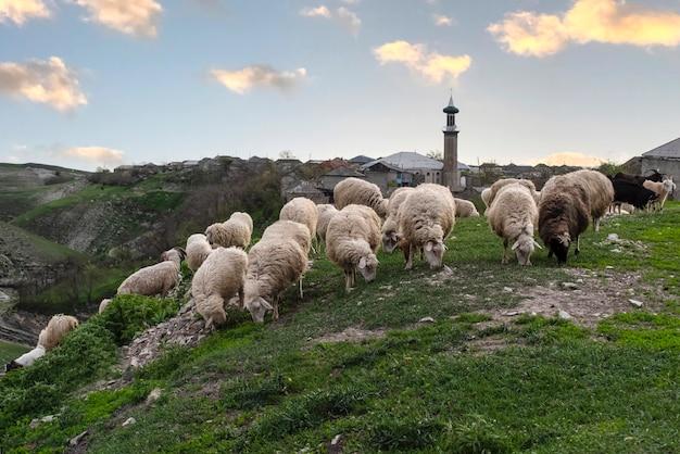 Owce i kozy na pastwisku na tle meczetu we wsi verkhniy karanay dagestan rosja