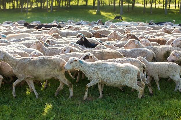 Owce i kozy pasą się wiosną na zielonej trawie.