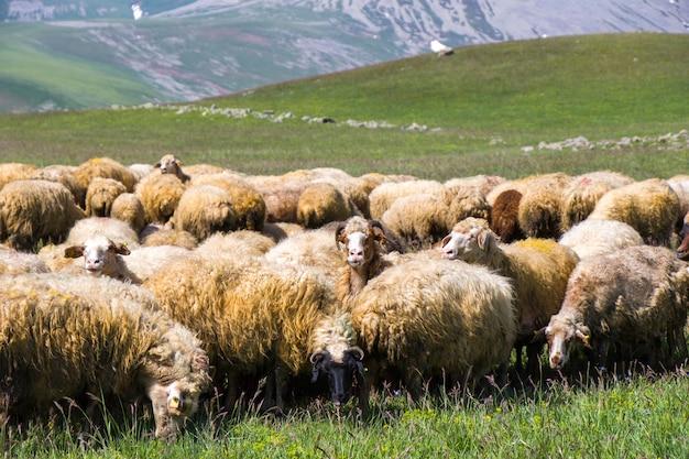 Owce i kozy w dolinie. życie zwierząt domowych. farma w górach. duża grupa owiec.