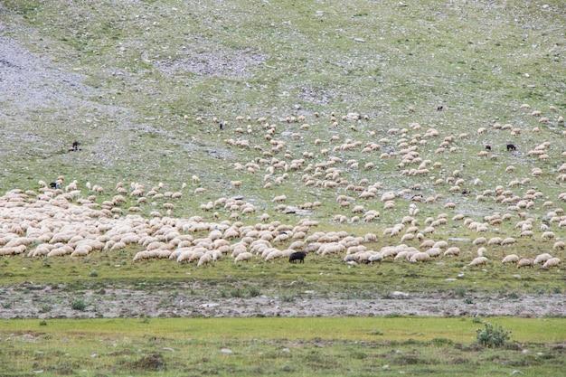 Owce i kozy w dolinie. życie zwierząt domowych. gospodarstwo w górach. duża grupa owiec.