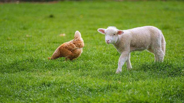 Owce i kurczaka w polu