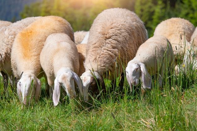 Owce jedzą trawę na alpejskich pastwiskach północnych włoch
