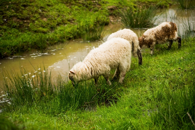 Owce jedzą trawę w pobliżu rzeki