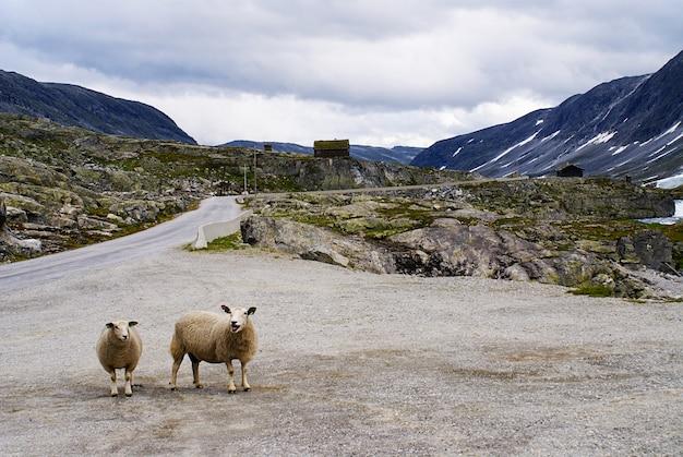 Owce na drodze otoczonej wysokimi górami skalistymi przy atlantic ocean road w norwegii