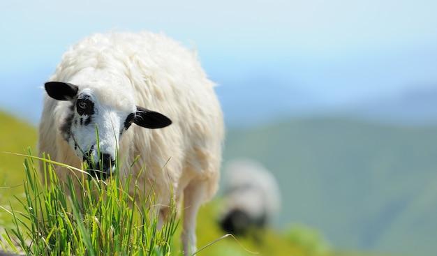 Owce na łące w górach. letni krajobraz
