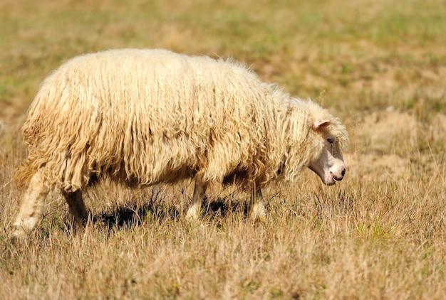 Owce na polu jesienią