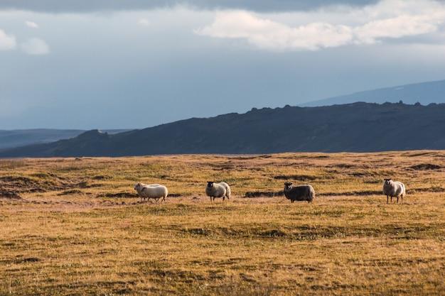 Owce na polu w islandii. suchy islandzki krajobraz z owcami w lecie
