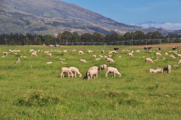 Owce na południowej wyspie