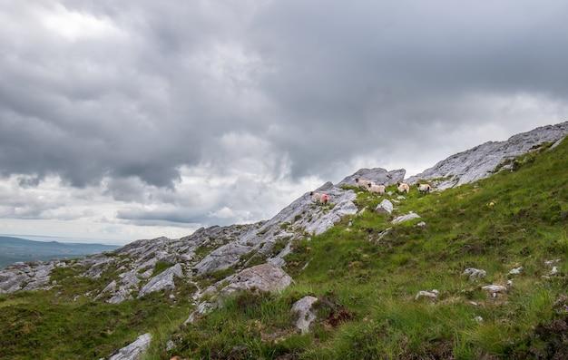 Owce na skałach z pięknym widokiem na krajobraz ze szczytu derryclare mauntain.