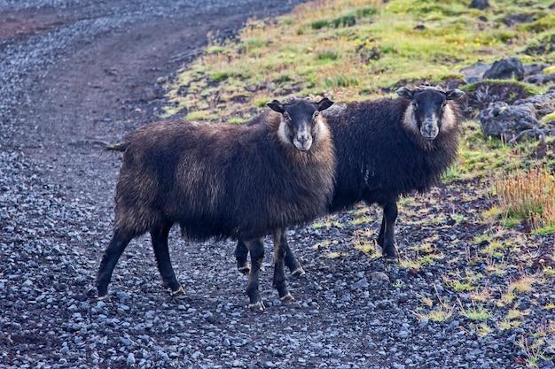 Owce na wyspie islandii