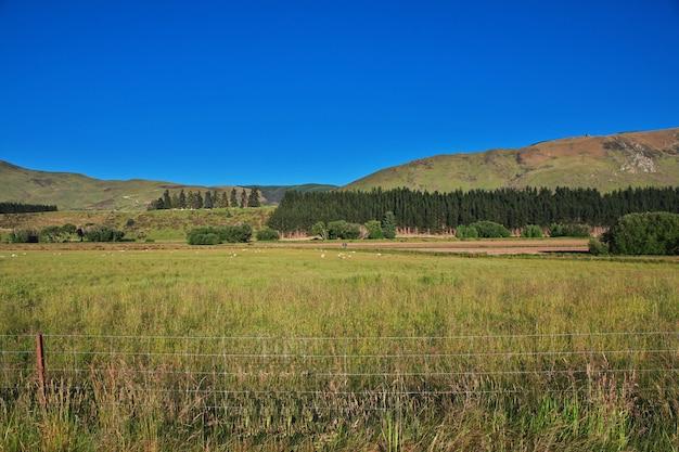 Owce na wyspie południowej w nowej zelandii