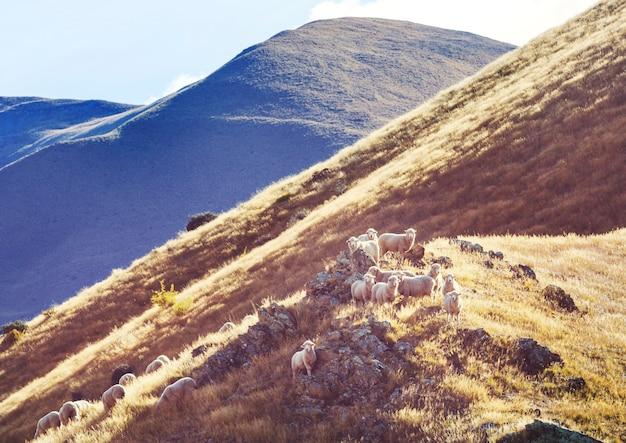 Owce na zielonej górskiej łące, wiejska scena w nowej zelandii