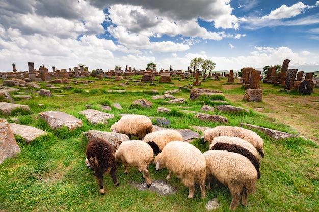 Owce pasą się w noratus